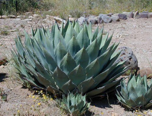 Was ist der Unterschied zwischen einer Aloe Vera und einer Agave?